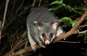 http://ravepad.com/page/possums/images/view/12408525/New-Zealand-Possum