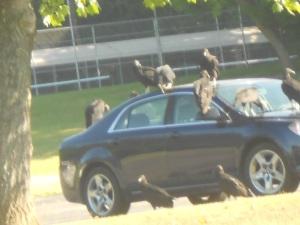 vultures036