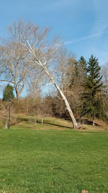 Hundreds of drivers in Athens, Ohio pass this tree on Ohio University land daily, and if it's noticed it's to see if it's fallen yet. For years this state of affairs has continued. One day it won't be there any more, and neither will we.